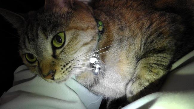 猫の首輪に迷子カプセルを付ける