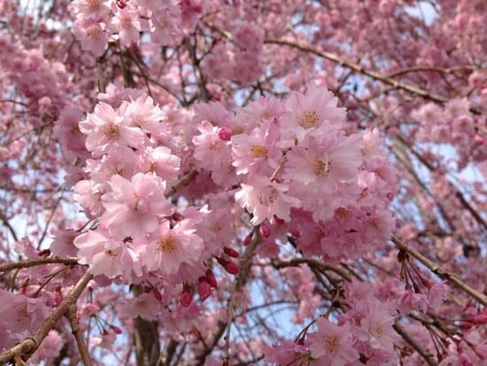 2枝垂れ桜全体5502.jpg
