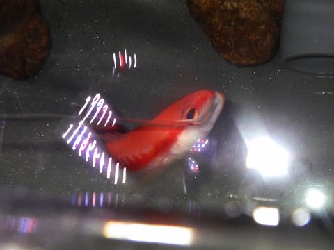 トゲハナスズキ(Liopropoma japonicum)22 深海魚飼育