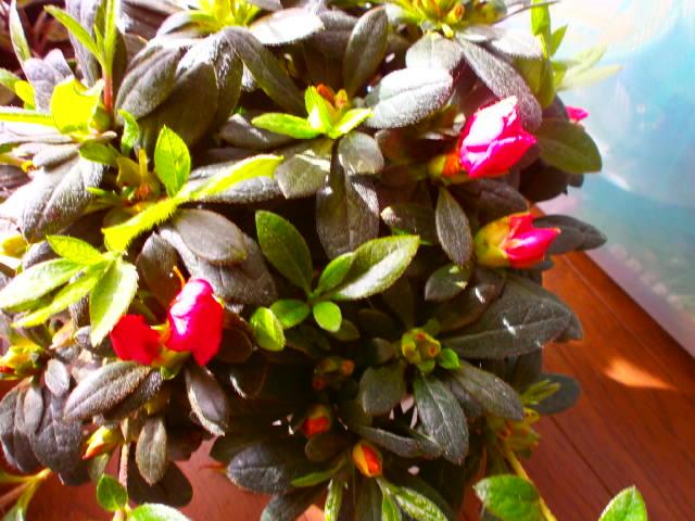 アザレア2番花3.2