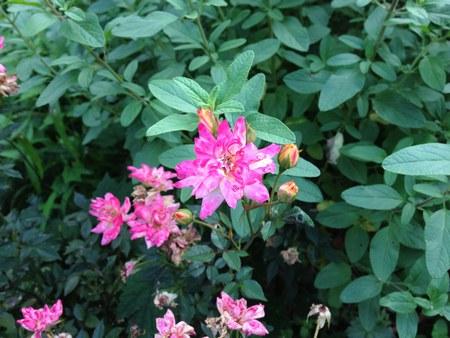 1花ピンク4501.jpg