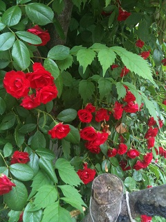ガーデンカフェ タイム 赤薔薇