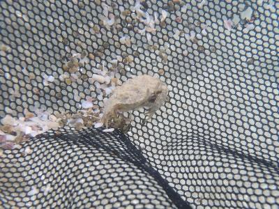 \串本磯採集2013年9月下旬12 ソデカラッパ(Calappa hepatica)