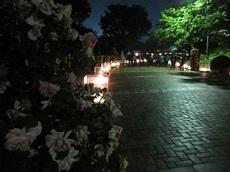 night rose 13.jpg