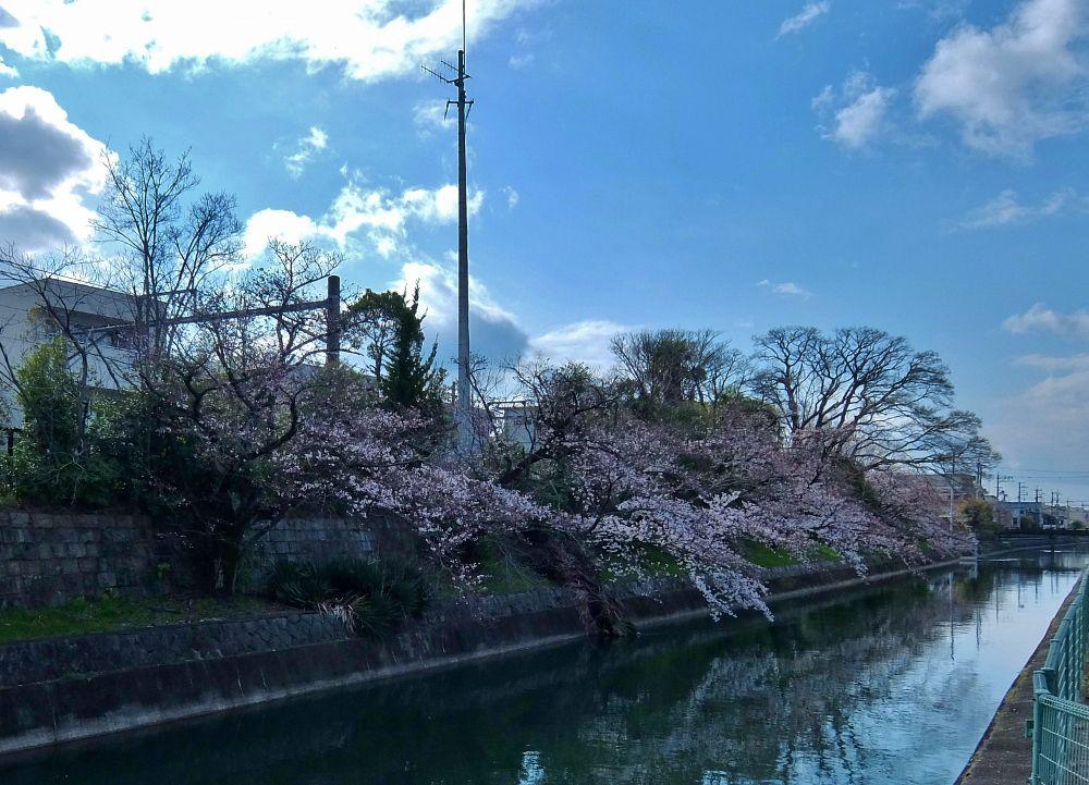 京都 桜 伏見稲荷 千本鳥居