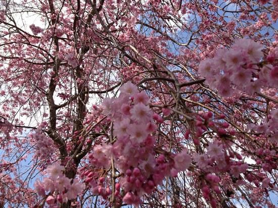 2枝垂紅桜5500.jpg