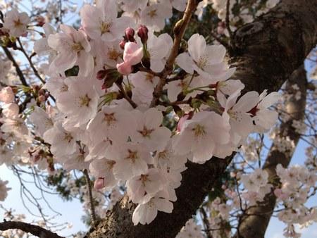 2天理3月30日桜4503.jpg