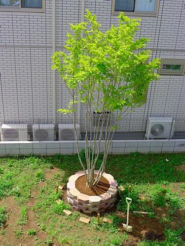 庭のアオダモ