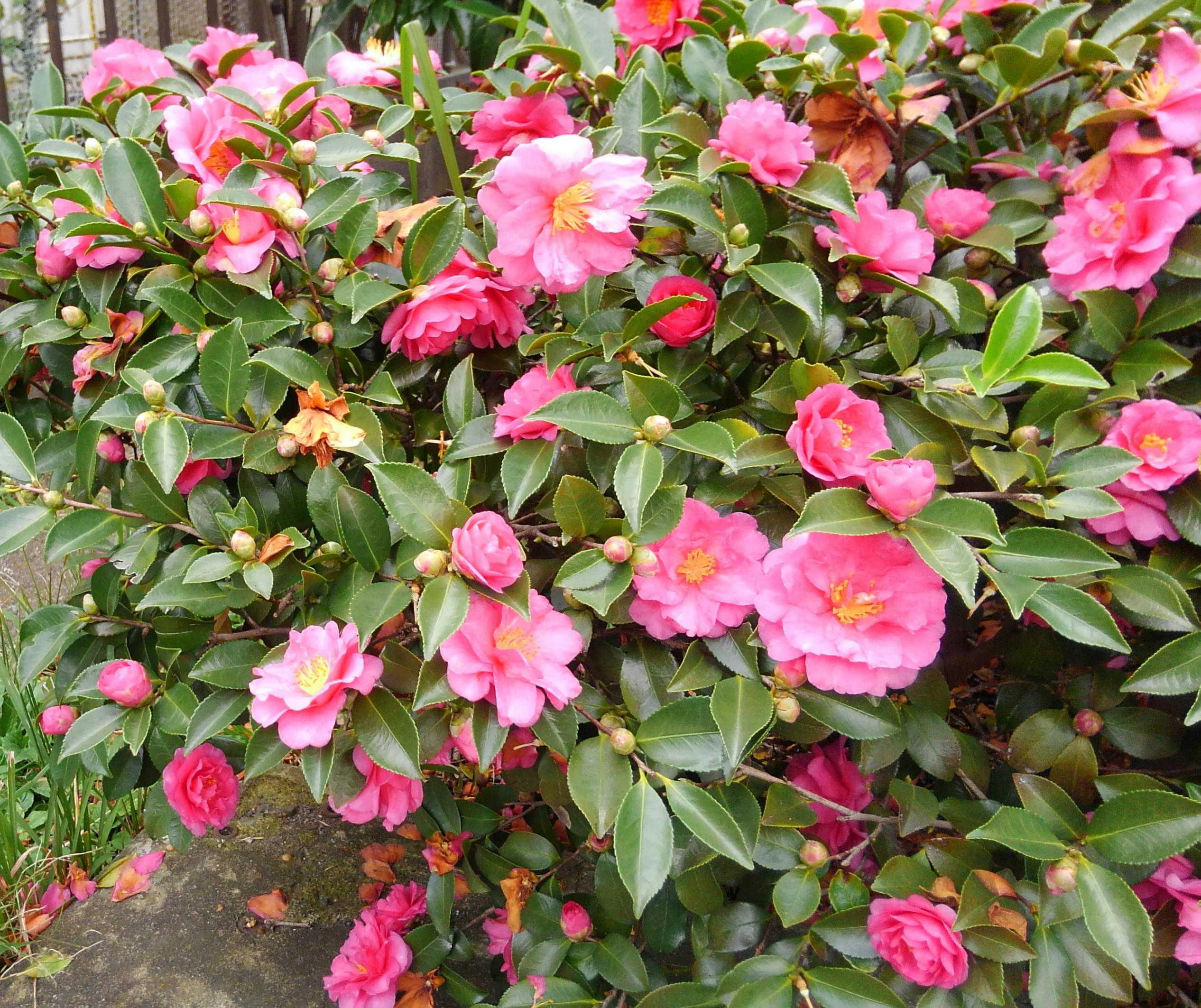 ○○山茶花の散る○○長塚節の命日に | 60ばーばの手習い帳 - 楽天ブログ