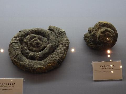 大阪市立自然史博物館2017年4月下旬24 ディディモセラスの化石