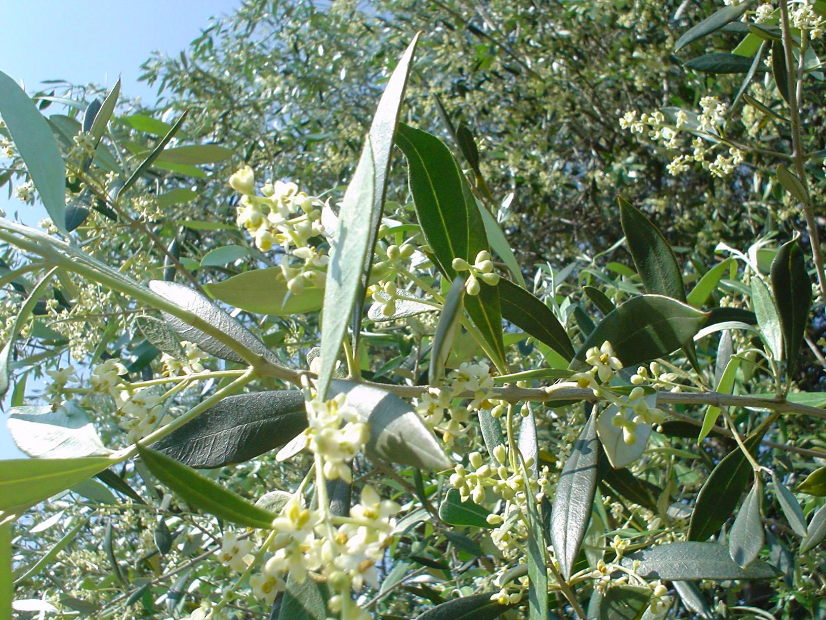オリーブ花