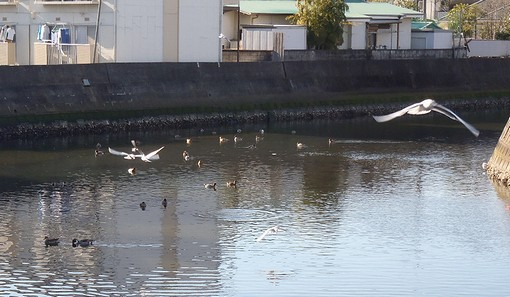 20130119侍従川の鴨とカモメ