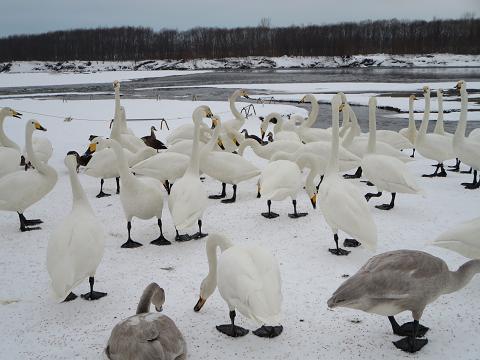 十勝川の白鳥