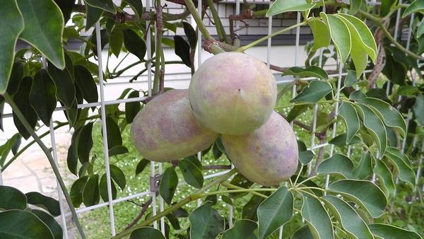 ムベの実 果物