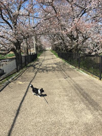 180325桜並木