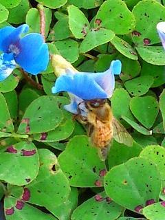 ミツバチブルークローバー