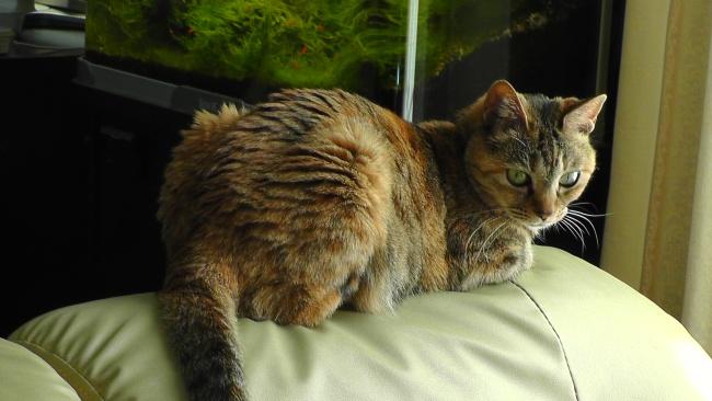ソファの上で香箱座りする猫