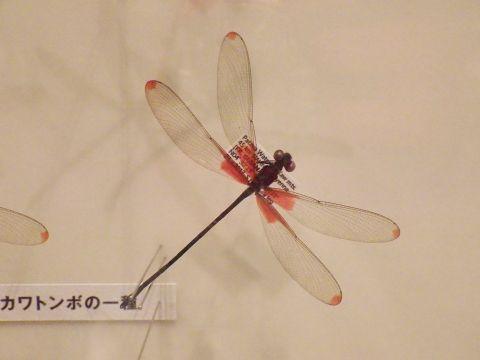 大阪市立自然史博物館2019年7月下旬19 カワトンボの一種の標本