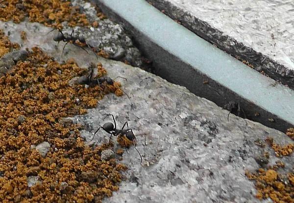 隙間から土を運び出す蟻たち