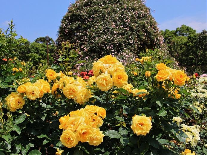 2.黄色のバラ.JPG