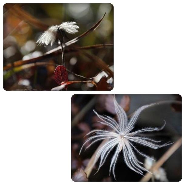 栂池自然園-50 チングルマ 15.10.2
