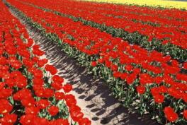 2013-04-tulip01