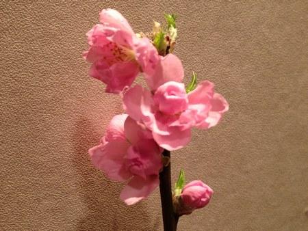 23月8日桃の花 4502.jpg