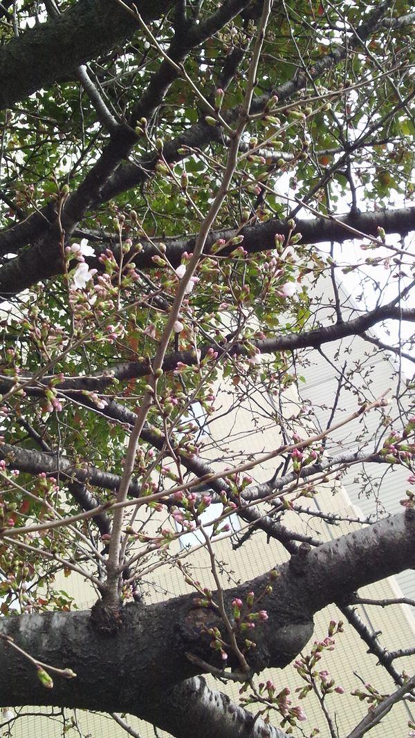 20120324ニュースカイ前の桜【開花宣言】