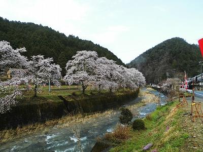 20170419小町桜1.jpg