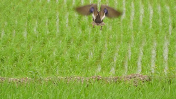 飛び去るカルガモ 軽鴨