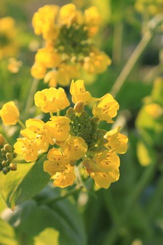 白菜の菜の花