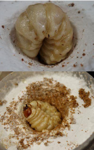 ビン オオクワガタ 菌糸