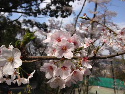 2ソメイヨシノ桜5001.jpg