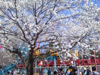 140405_桜の海をゆけ