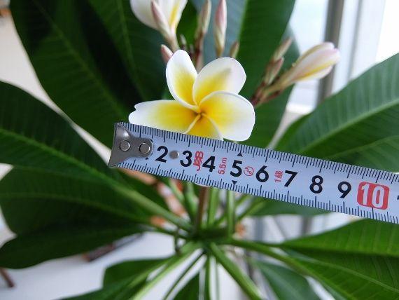 プルメリア ベランダ 育て方 花
