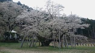10_淡墨桜1.JPG