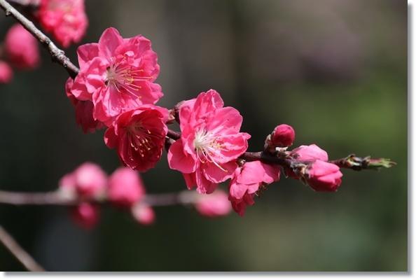 樹木公園-56 花桃 16.4.9