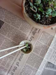ブログ多肉植物1.jpg