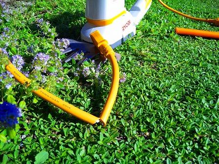 ロンギカウリスの花を刈り込みました4