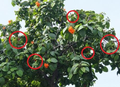 街路樹 ハワイ インコ 鳥