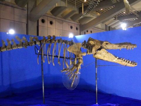 メガ恐竜展2017巨大化の謎にせまる12 カミツキマッコウの全身骨格