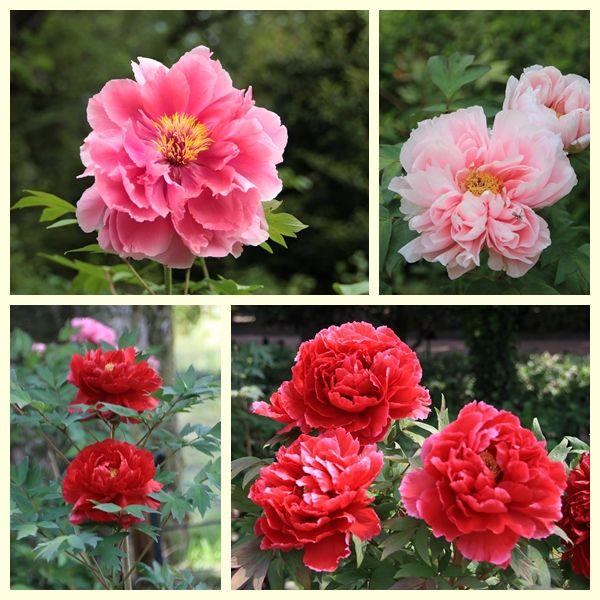 ☆牡丹の花☆ | 光と風のそよぎ 鳳英 - 楽天ブログ