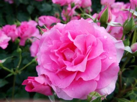 1バラ園黄バラ6450.jpg