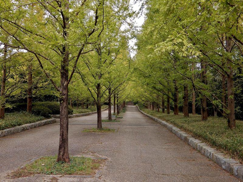 メタセコイア並木7