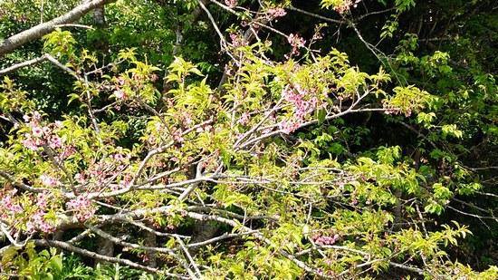 2大家桜550長1.jpg