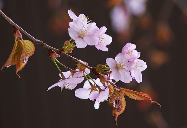 4月10日の花言葉 ヤマザクラ | ...