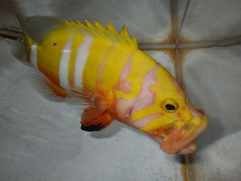 シマハタ(Cephalopholis igarashiensis)86 深海魚飼育 ネプチューングル―パー