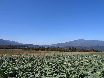 秋のキャベツ畑は・・・