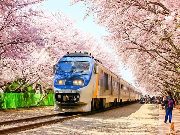 韓国旅行、桜、お祭り