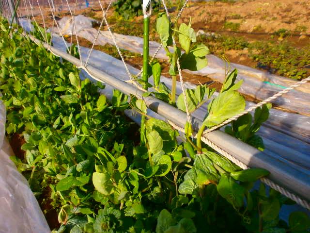 えんどう豆2.28畑